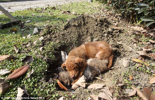Eventually, the local animal shelter collected this heartbroken puppy, buried his sister and began caring for him.