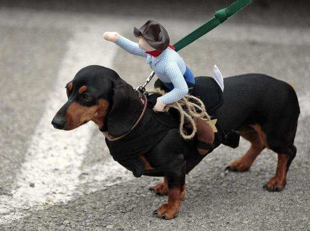 "10.) Dachshund is German for ""Badger dog,"" which points to their history as badger hunters."