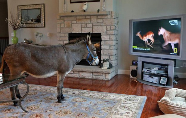 This is Joplin, a donkey who lives indoors. Here he is watching one of his favorite TV shows.