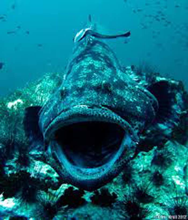 This is a giant grouper.